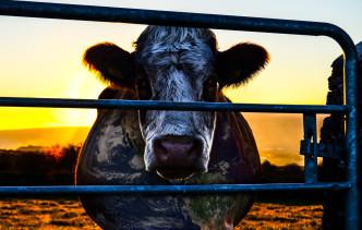 Cowspiracy, documentario sull'impatto ambientale dell'industria degli allevamenti
